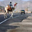Dromedary Camel crossing road - Stock Photo