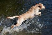 Golden labrador retriever — Stock Photo