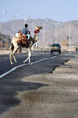 Dromedary Camel crossing road — Stock Photo
