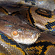 Closeup image of camouflaged python — Stock Photo