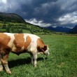 Bull in a grass field — Foto Stock