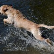 Golden labrador retriever dog jumping — Stock Photo