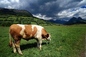 Bull in a grass field — Photo