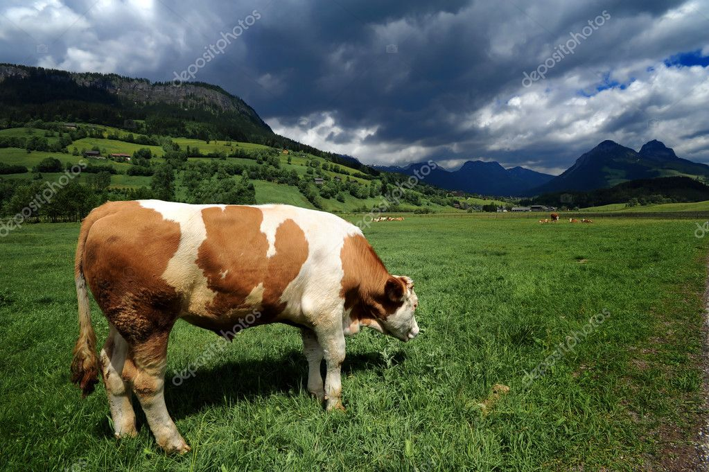 Bull in a grass field near Bad Mitterndorf, Austria — Stock Photo #2332694