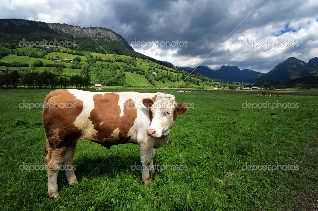 Bull in a grass field near Bad Mitterndorf, Austria  Stock Photo #2360935