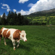 Cow eating grass — Stockfoto