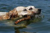 Labrador dogs swimming — Stock Photo