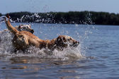 Labrador jumping into the water — Stock Photo