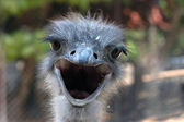Ostrich, close-up — Stock Photo