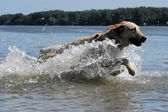 Labrador dog jumping into the water — Stock Photo
