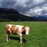 Bull in a grass field — Stock Photo