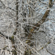 Stock Photo: Frosty winter trees