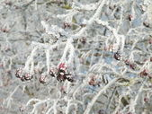 Frosty hawthorn — Stock Photo