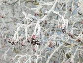 Frosty hawthorn — Stock Photo