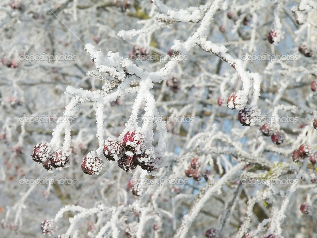 Frosty hawthorn with fruits in winter time — Stock Photo #2239288