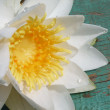 White water lily — Stock Photo #2240149