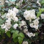 White bougainvillea flowers — Stock Photo
