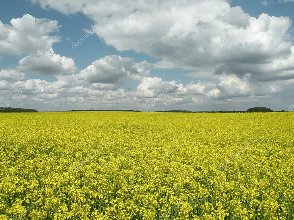 Yellow rape field and cloudy sky — Stock Photo #2290609