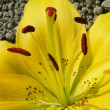 Yellow lily — Stock Photo #2309590