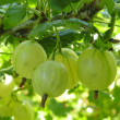 Gooseberry — Stock Photo #2309905