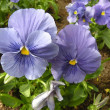 Stock Photo: Blue viola