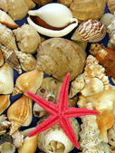 Red star fish and shells — Stock Photo