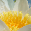 Water lily — Stock Photo #2448812