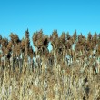Reed — Stock Photo #2474416