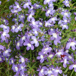 Blue flowers - 