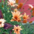 Stock Photo: Peach marguerite
