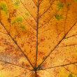Maple leaf texture — Stock Photo #2508285