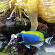 Stock Photo: Blue fish and coral reef