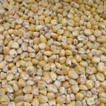 Golden corn — Stock Photo