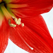 Red Amaryllis - Stock Photo