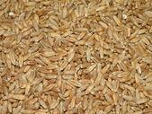 Triticale grain — Stock Photo