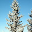 Frosten fir tree — Foto Stock