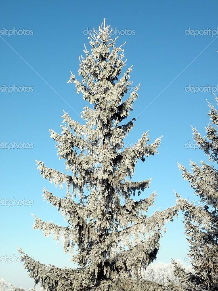 Pretty frosten fir tree and blue sky — Stock Photo #2542491