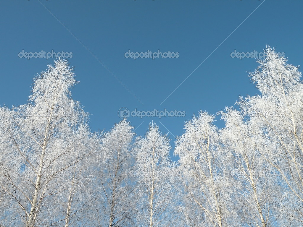 Frosten birch trees and blue sky — Stock Photo #2542589