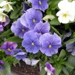Blue Viola — Stock Photo