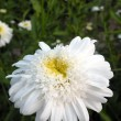 White marguerite — Foto Stock