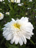White marguerite — Stock Photo