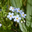 Forget-me-not flower — Stock Photo