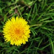 Single yellow dandelion — Stock Photo
