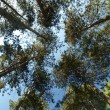 Ancent pine forest canopy — Stock Photo