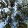 Stock Photo: Ancent pine forest canopy