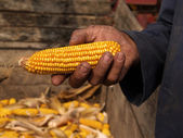 Hand holding corn cob — Photo