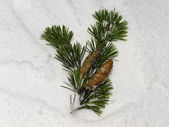 Green pine twig buried in snow — Stock Photo