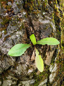 New leves growing from old tree trunk — Stock Photo