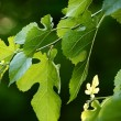 Black mulberry branch — Stock Photo