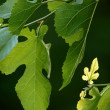 Brand new leaf on black mulberry tree — Stock Photo #2200212